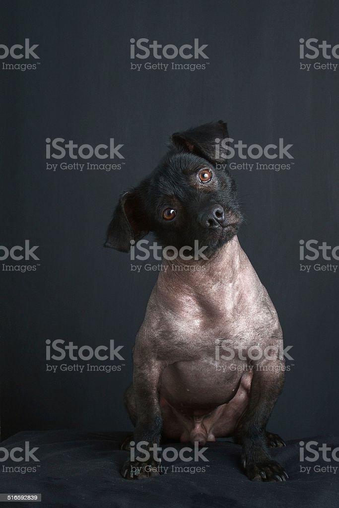 Portrait of peruvian dog stock photo