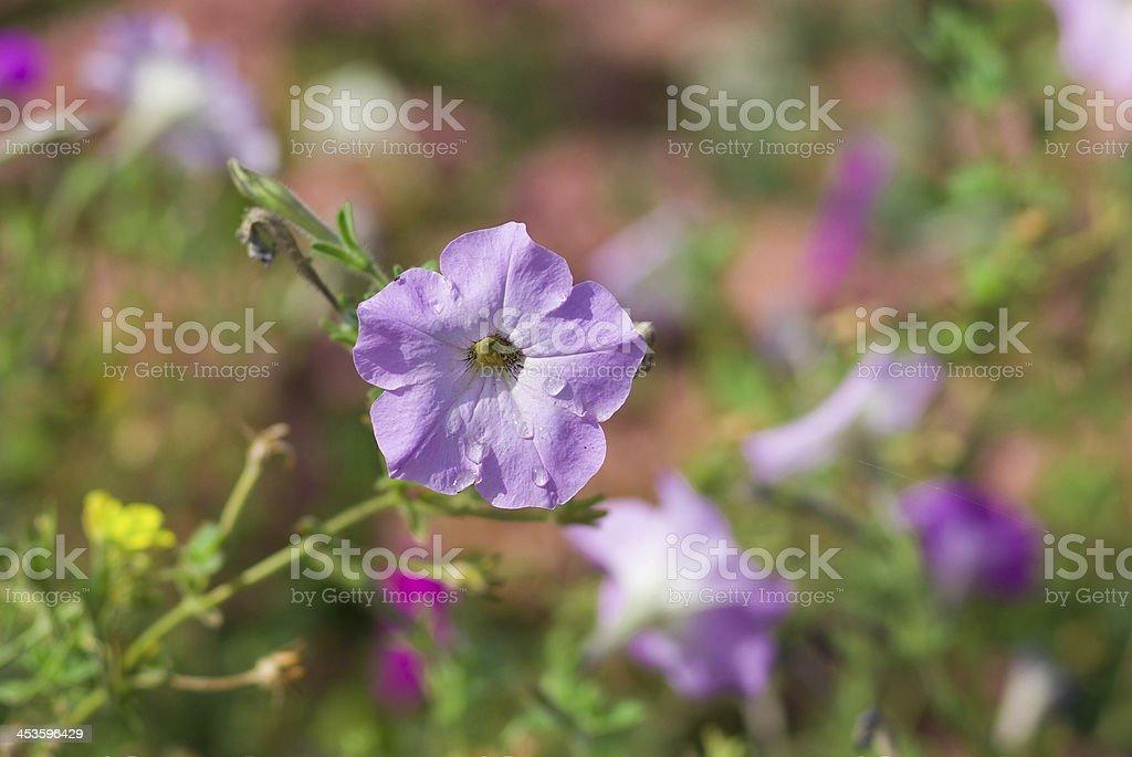 Portrait of petunia flower. royalty-free stock photo