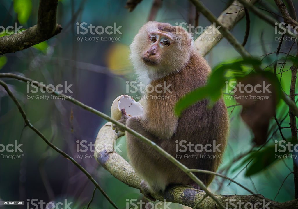 Portrait of Pig-tailed macaque stock photo