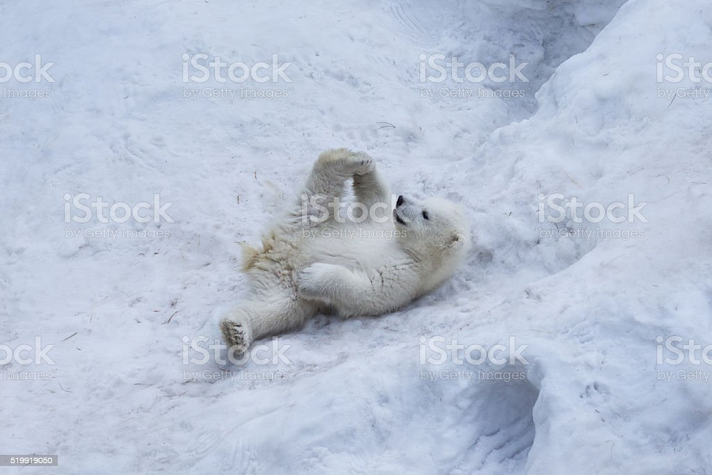 Portrait of polar bear cub practicing yoga on the snow. stock photo