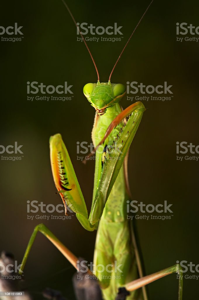 Portrait of Praying Mantis with Eyes Closed stock photo