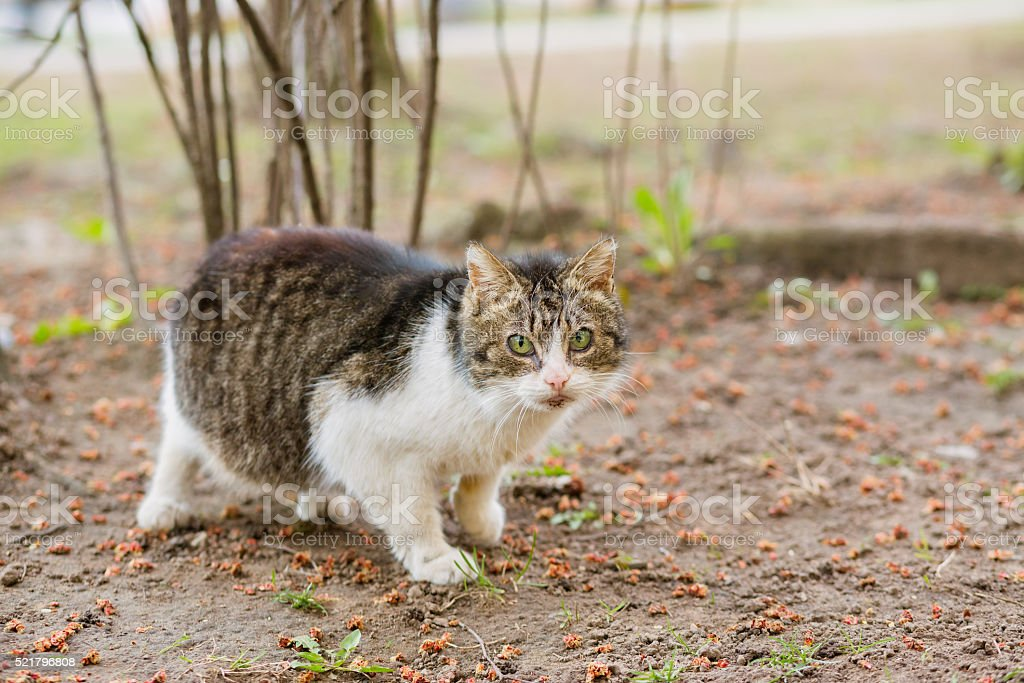 Portrait of pregnant cat looking at camera stock photo