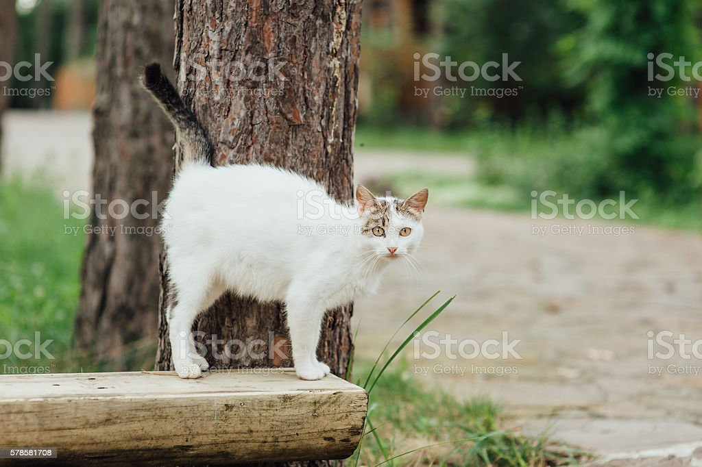 Portrait of pregnant cat walking on the bench stock photo