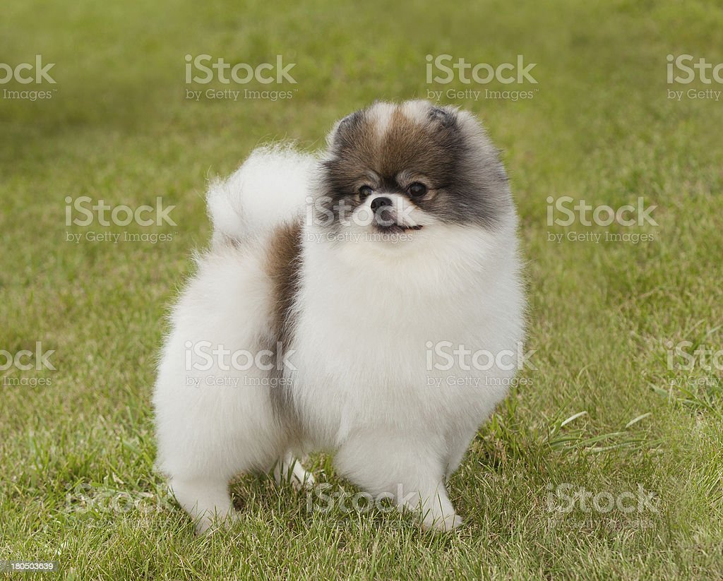 Portrait of purebred  dog Pomeranian Spitz on green background royalty-free stock photo