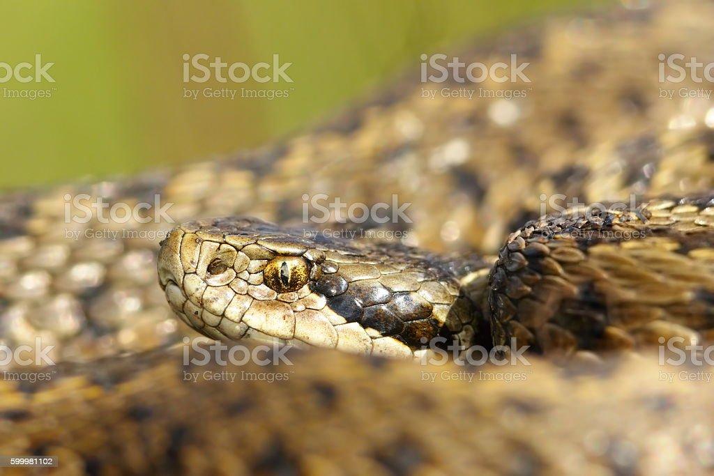 portrait of rarest european snake stock photo