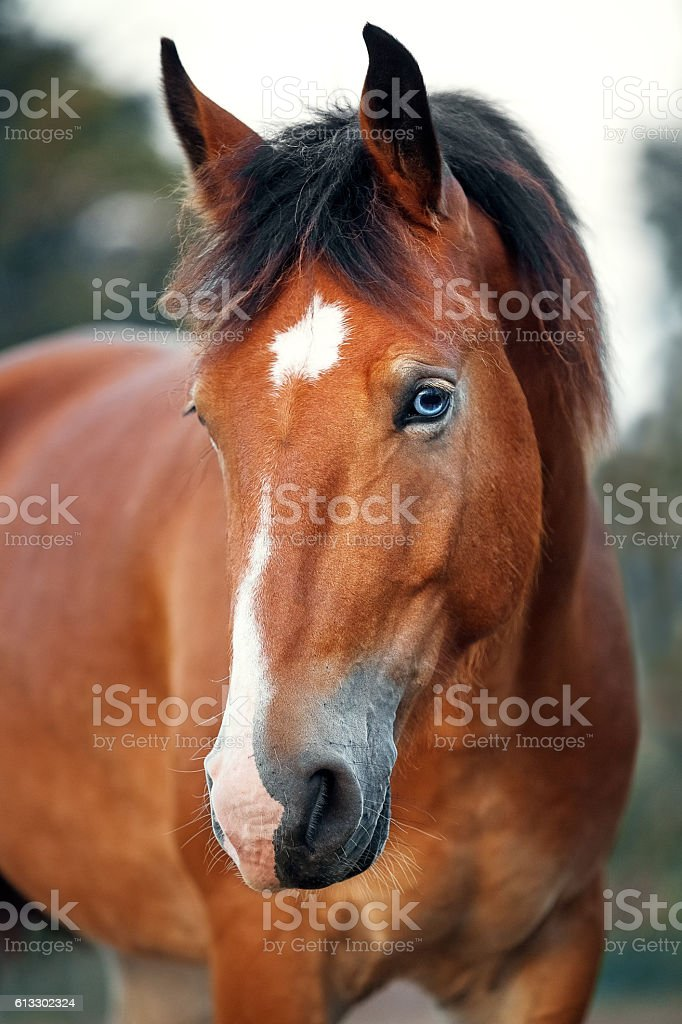 Portrait of red blue-eyed horse stock photo