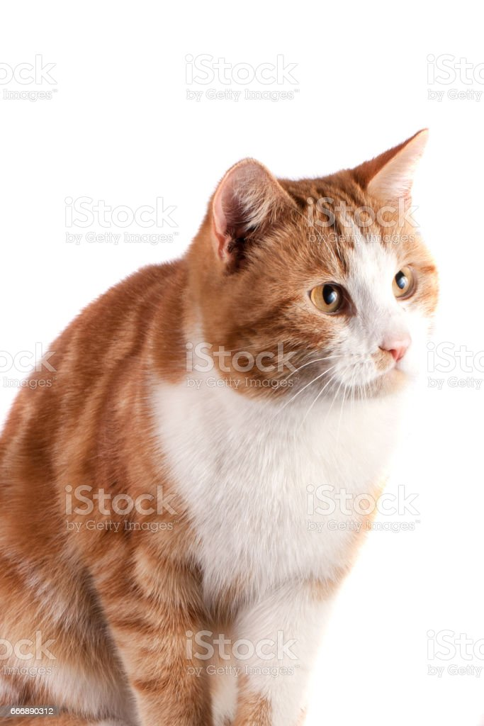 portrait of red cat looking away isolated on white background stock photo