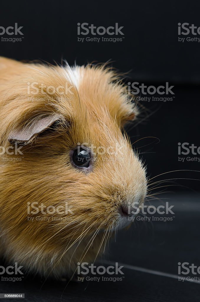 Portrait of red guinea pig on black background. stock photo
