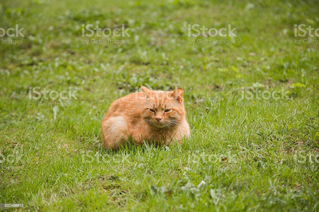 Portrait of red-headed sleepy cat stock photo