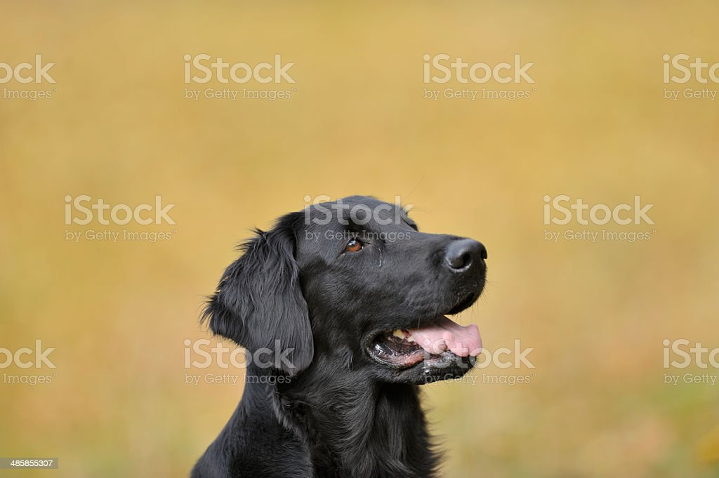 Portrait of retriever on a yellow autumn background royalty-free stock photo