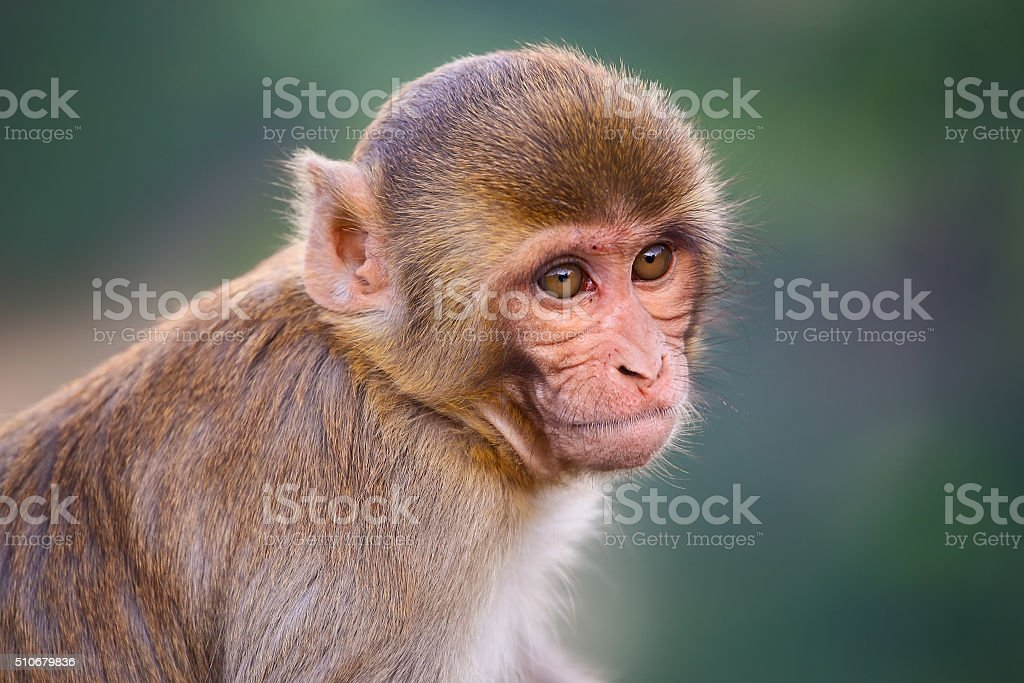 Portrait of Rhesus macaque (Macaca mulatta) stock photo