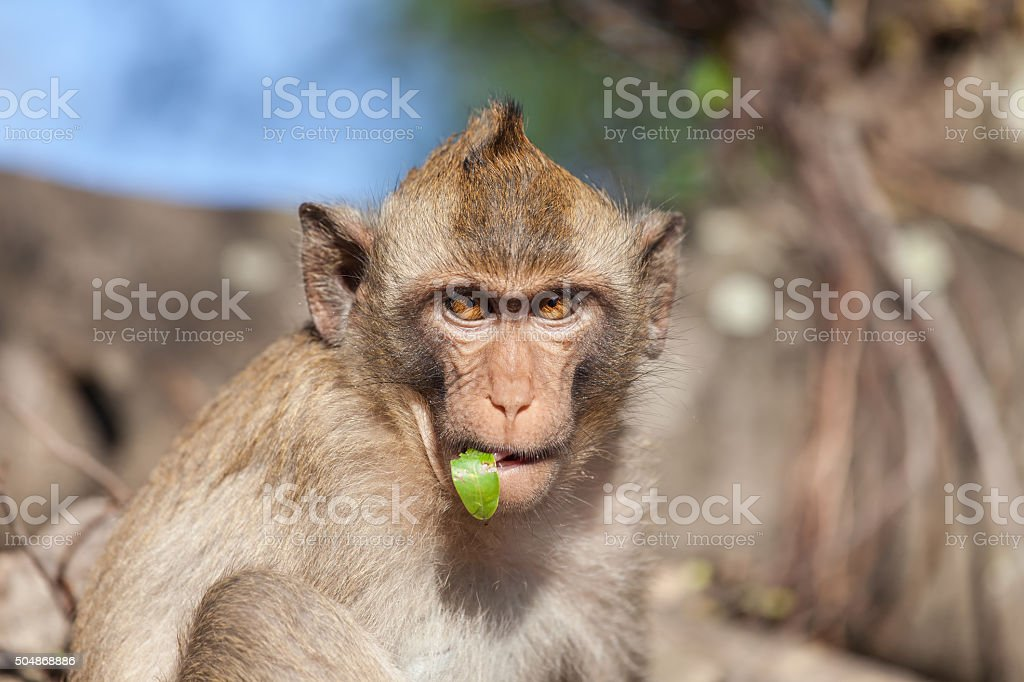 Portrait of rhesus monkeys with a leaf in its mouth stock photo