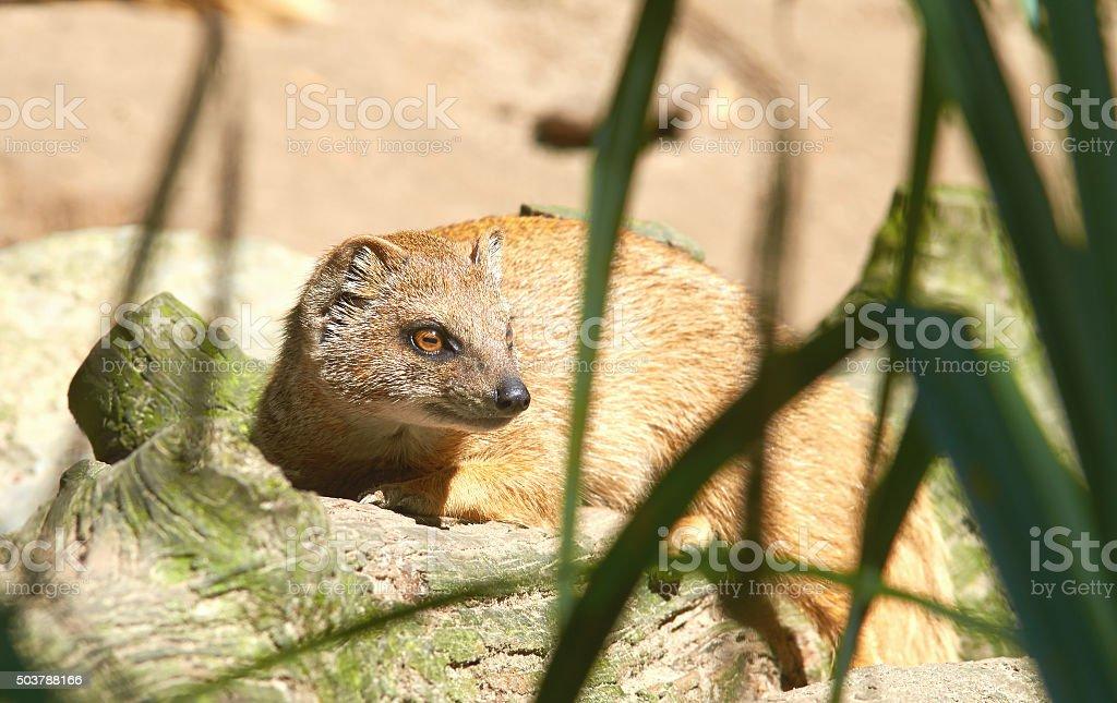 Portrait of rode meerkat (Cynictis penicillata) stock photo