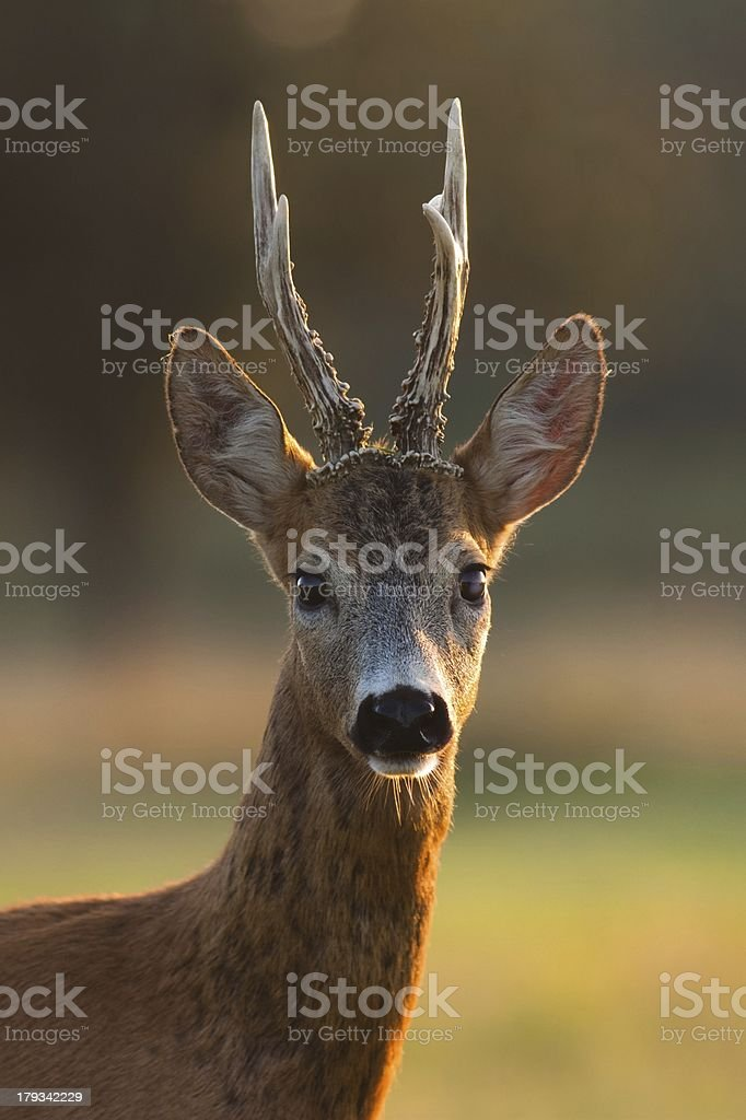 Portrait of roe deer buck with big antlers stock photo
