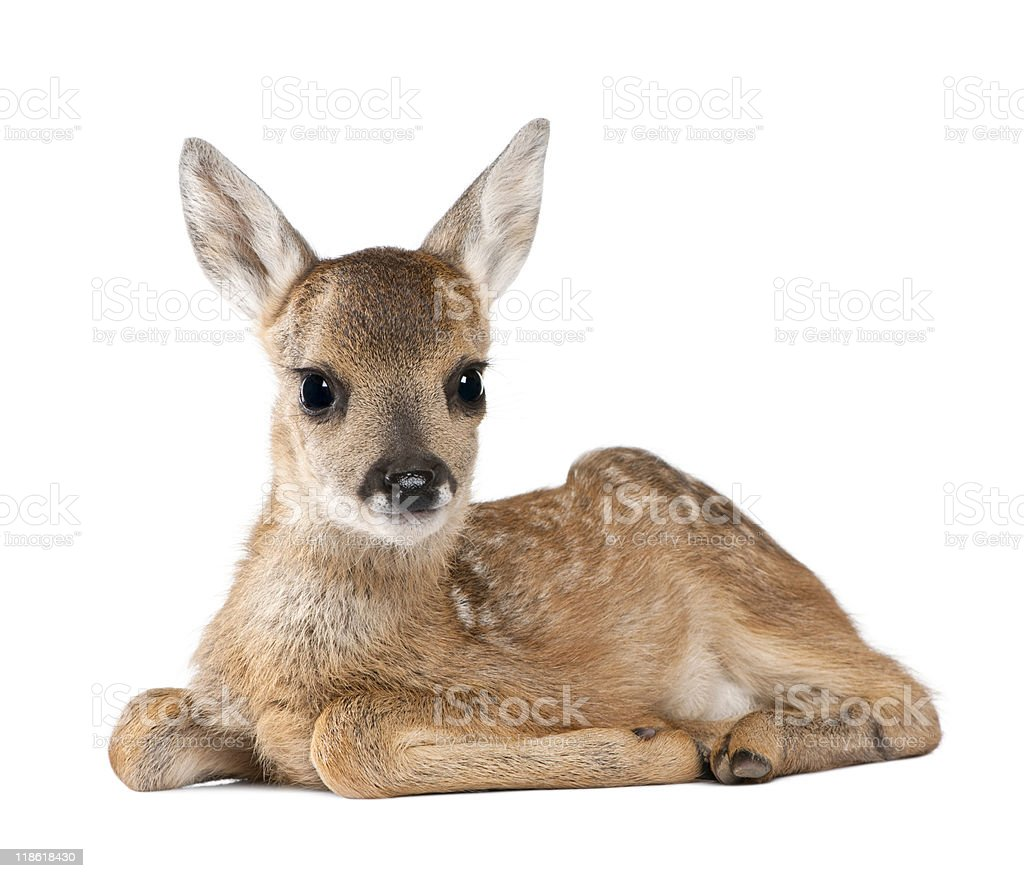 Portrait of Roe Deer Fawn  sitting against white background stock photo