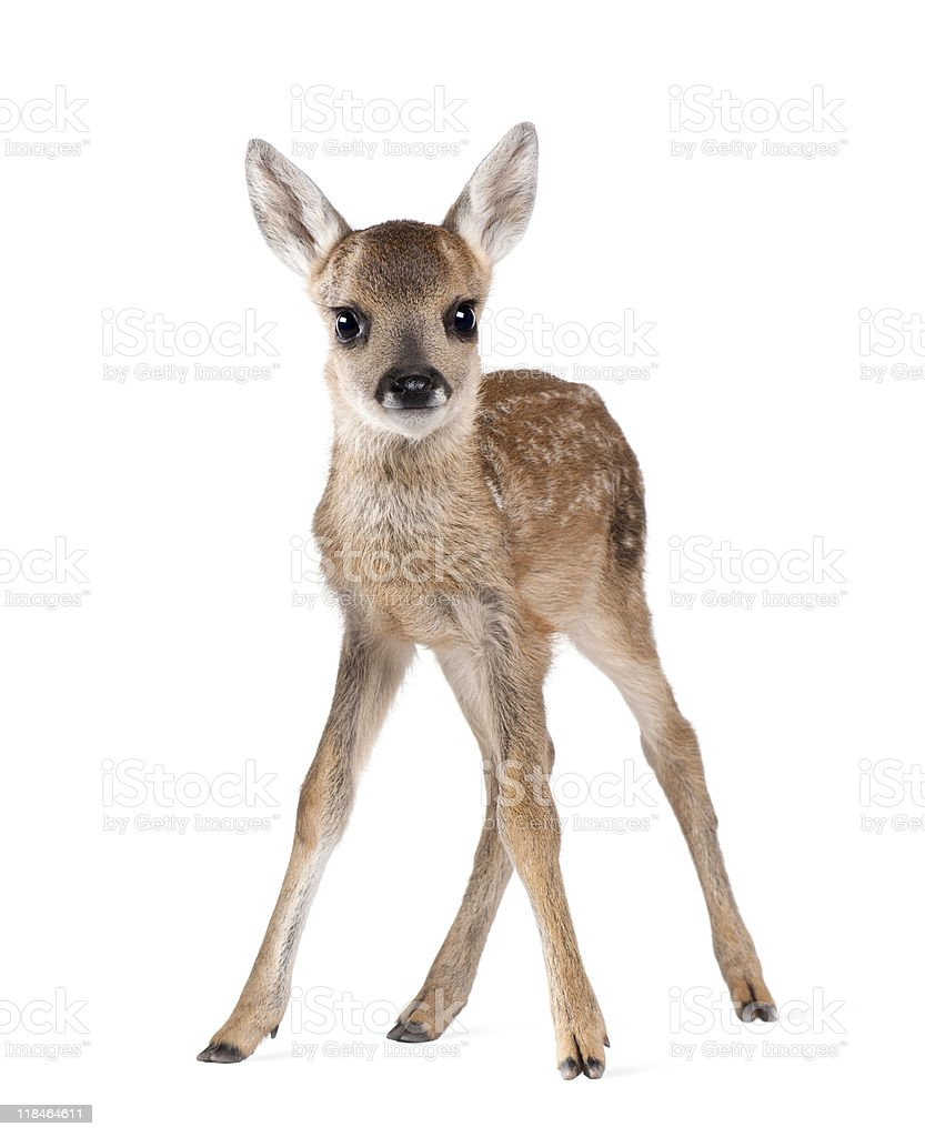 Portrait of Roe Deer Fawn standing against white background stock photo