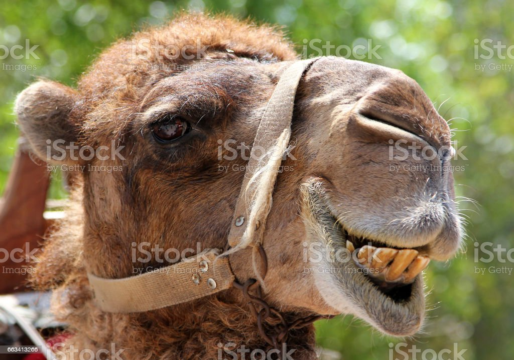 Portrait of s smiling camel stock photo