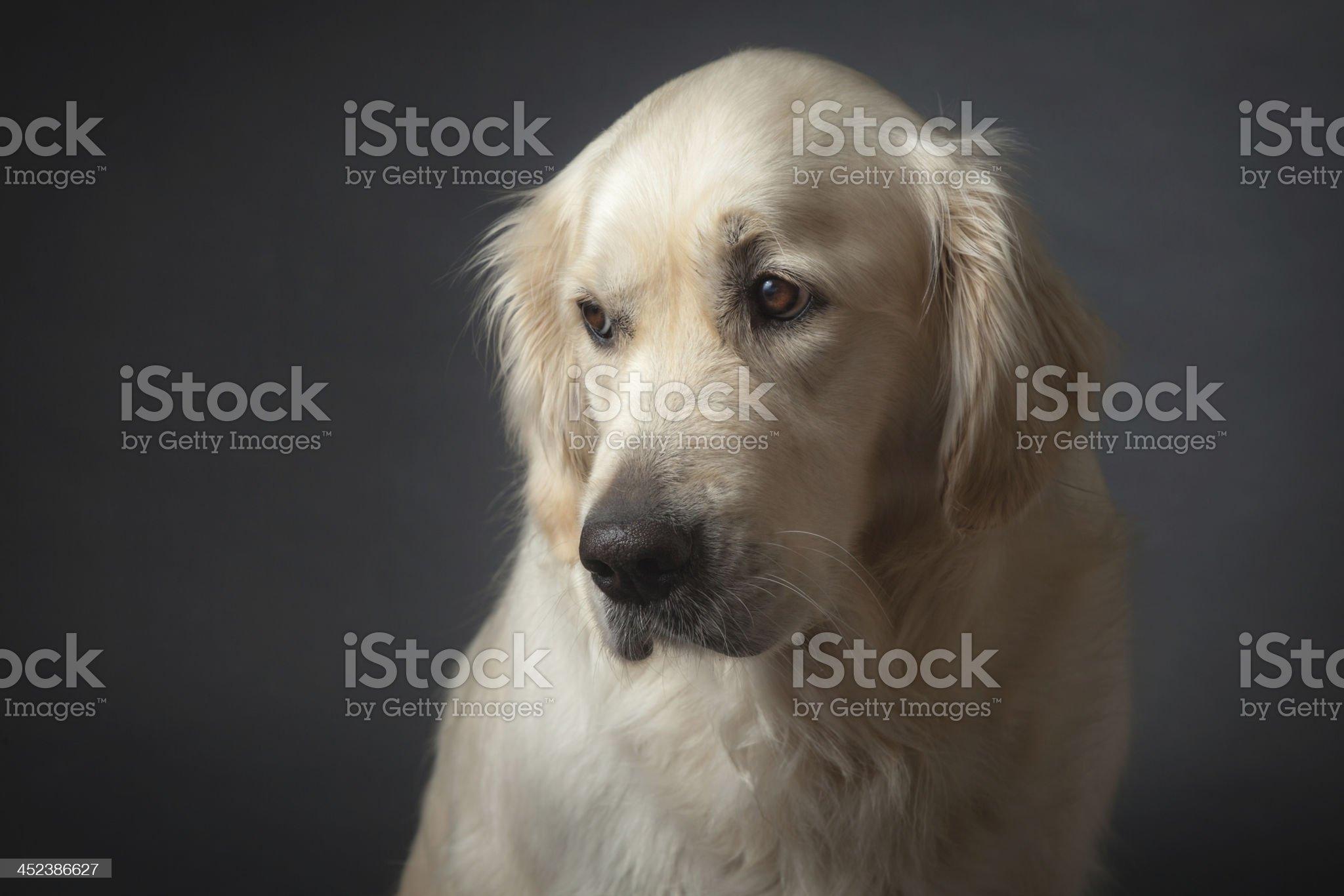 Portrait of Sad Dog royalty-free stock photo