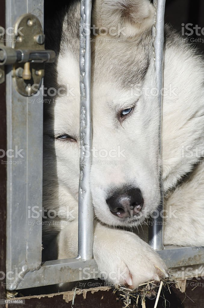Portrait of sad sleepy sled dog in cage royalty-free stock photo