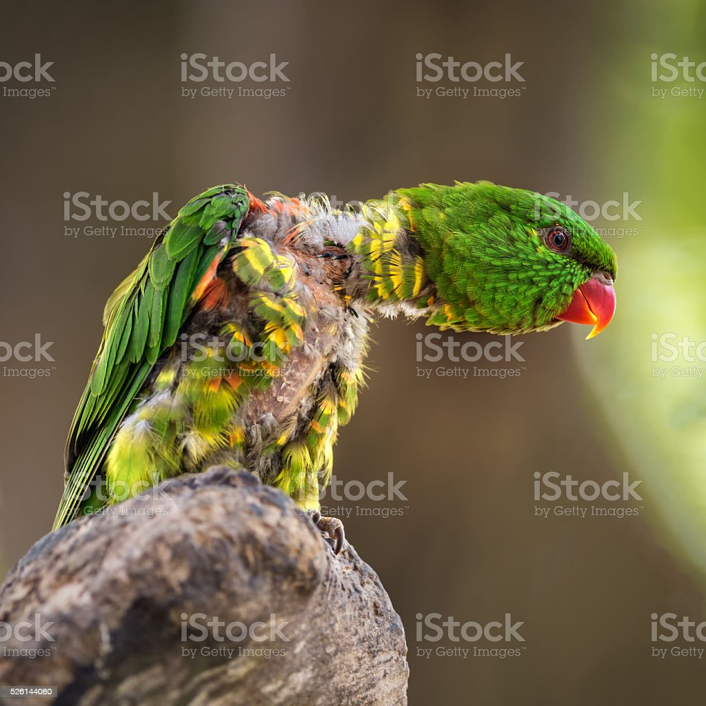 Portrait of  scaly-breasted lorikeet stock photo