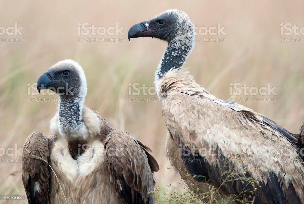 Portrait of scavengers vultures in the African savannah stock photo