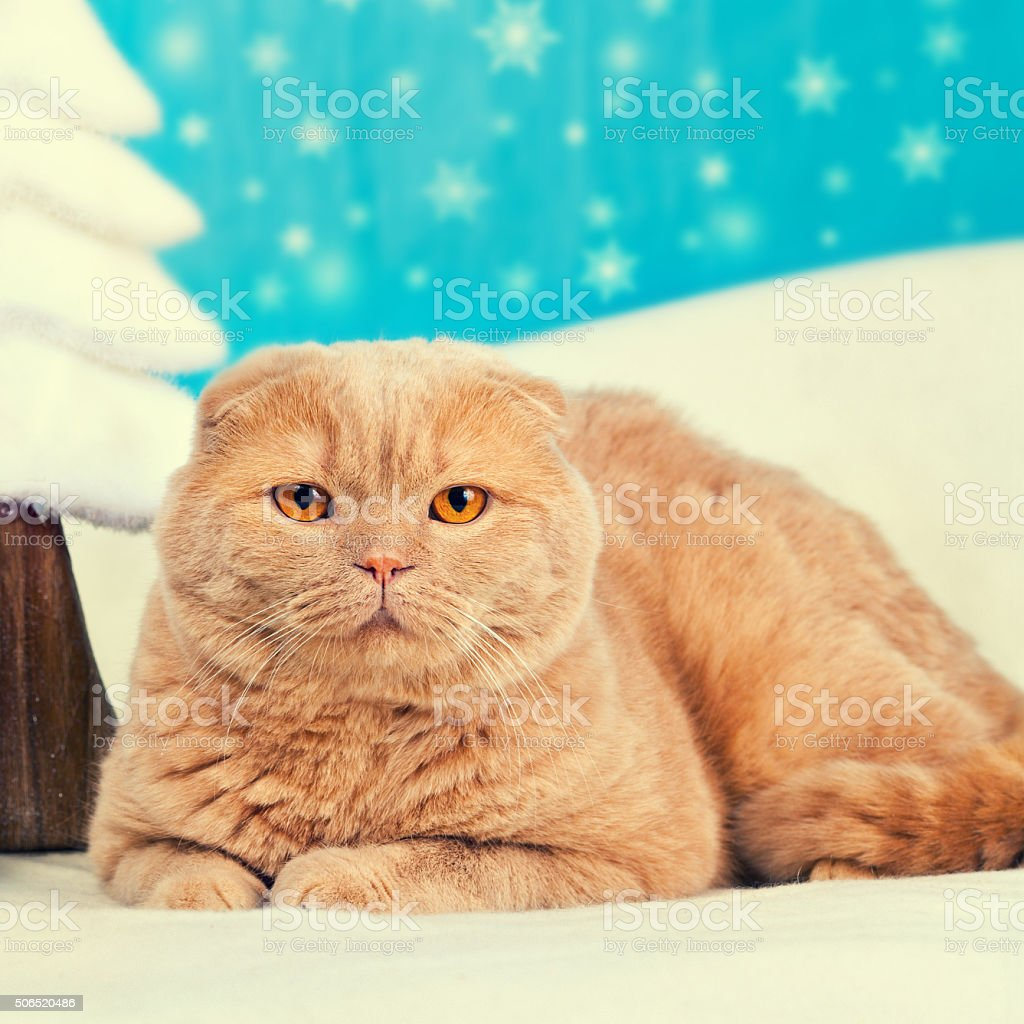 Portrait of scottish fold cat with christmas decoration stock photo