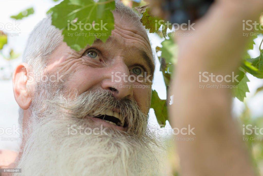 Portrait of Senior Man with Long Beard Picking Grapes, Europe stock photo