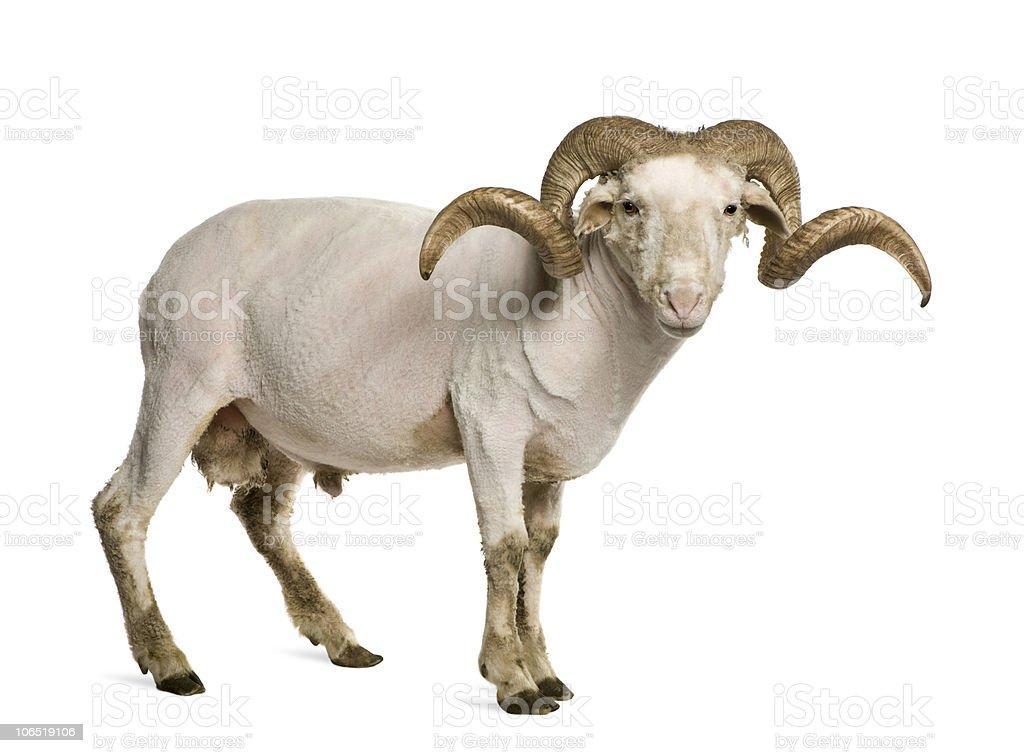Portrait of shaved Arles Merino ram, standing. stock photo