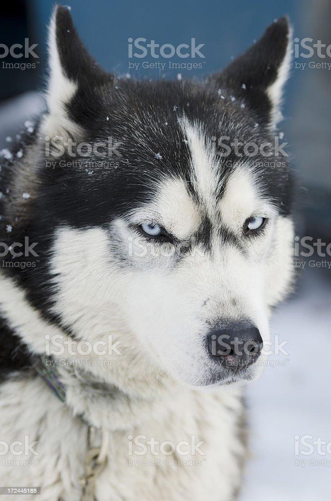 Portrait of Siberian Husky sled dog royalty-free stock photo
