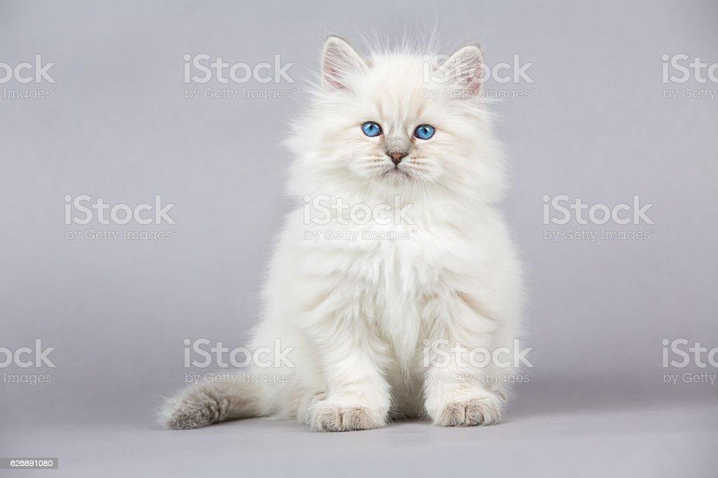 Portrait of Siberian kitten stock photo