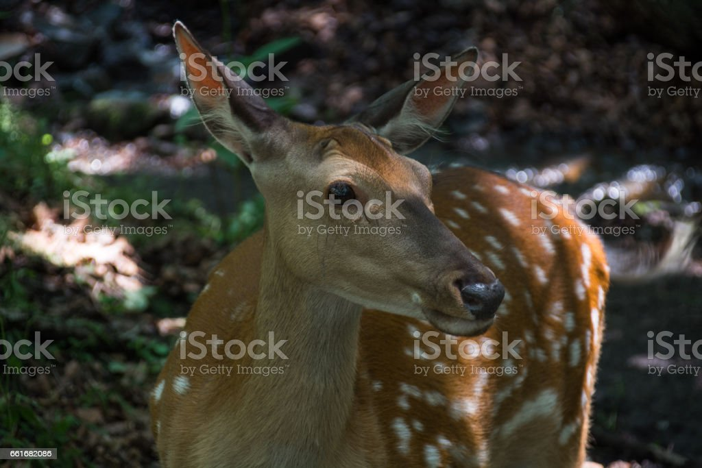 Portrait of sika deer. stock photo