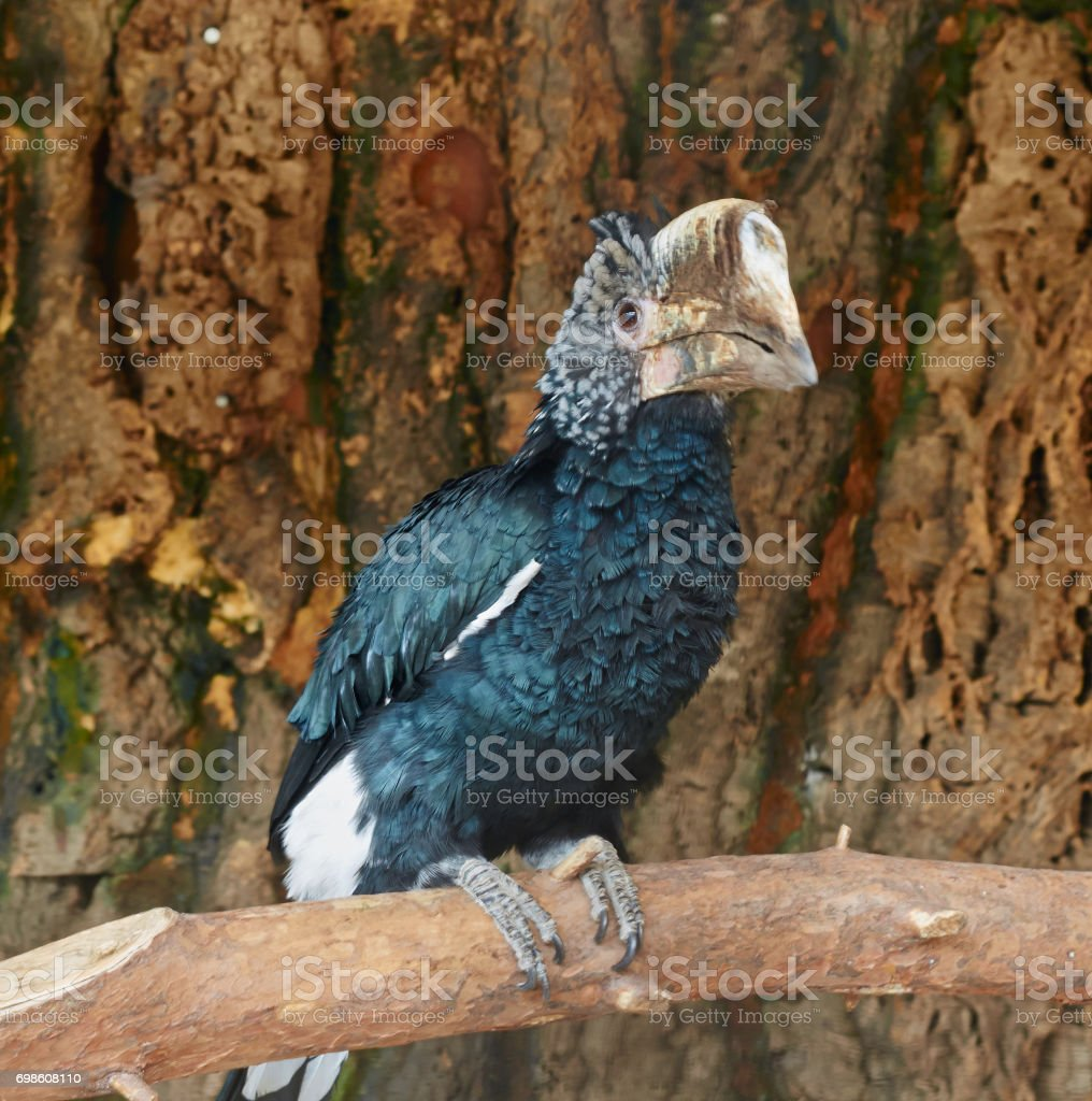 Portrait of Silvery cheeked hornbill close up. stock photo
