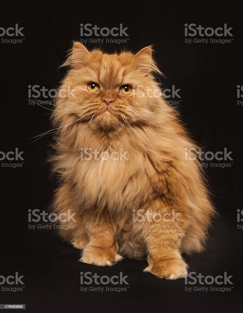 Portrait of sitting Orange Persian cat royalty-free stock photo