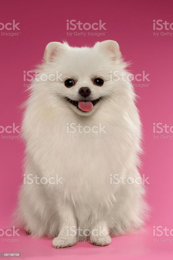 Portrait of Sitting Spitz Dog on Colored Background stock photo