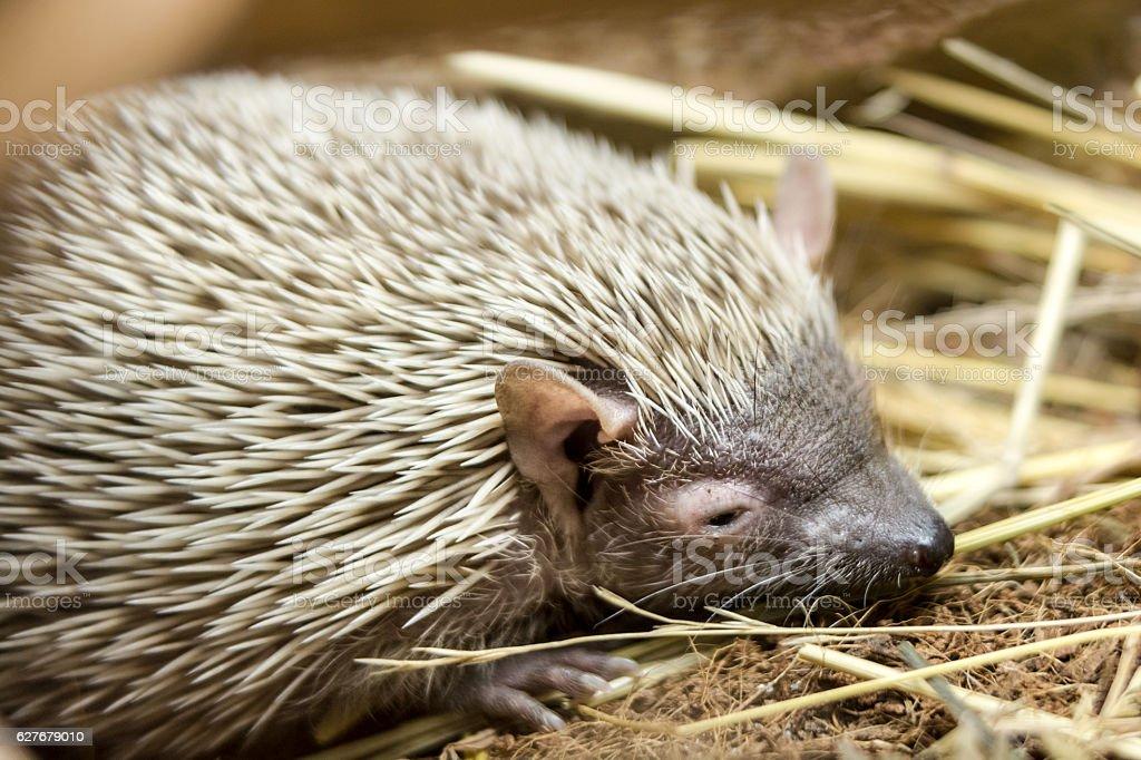 Portrait of sleepy hedgehog stock photo