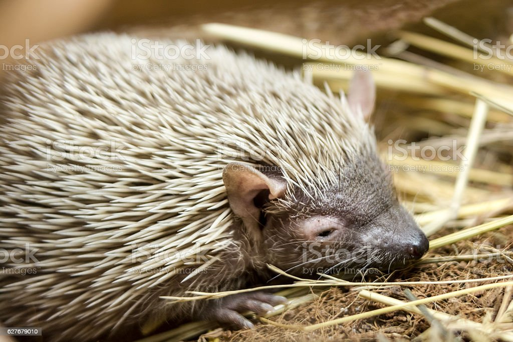 Portrait of sleepy hedgehog stock photo