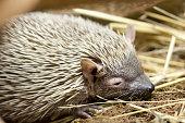 Portrait of sleepy hedgehog