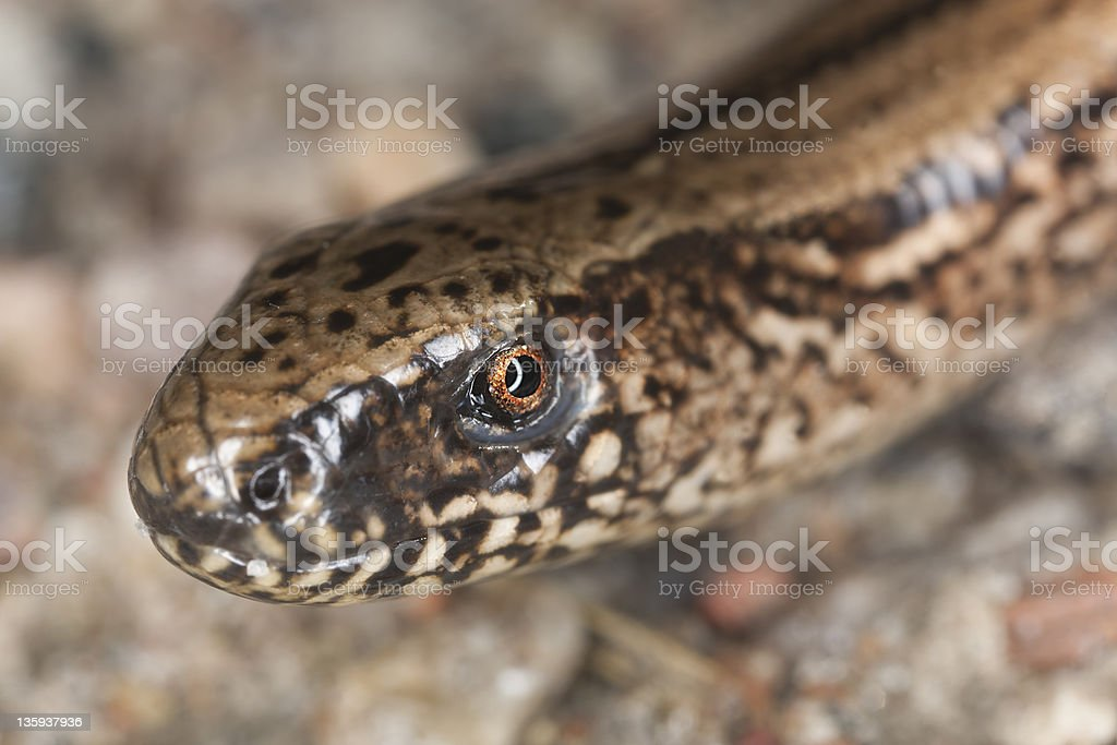 Portrait of Slowworm (Anguis fragilis) stock photo