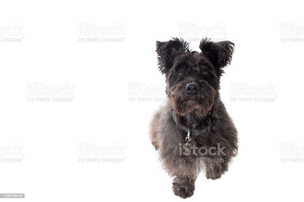 Portrait of Small Black Terrier in Studio stock photo