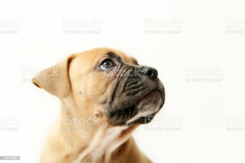 Portrait of Small Dog royalty-free stock photo