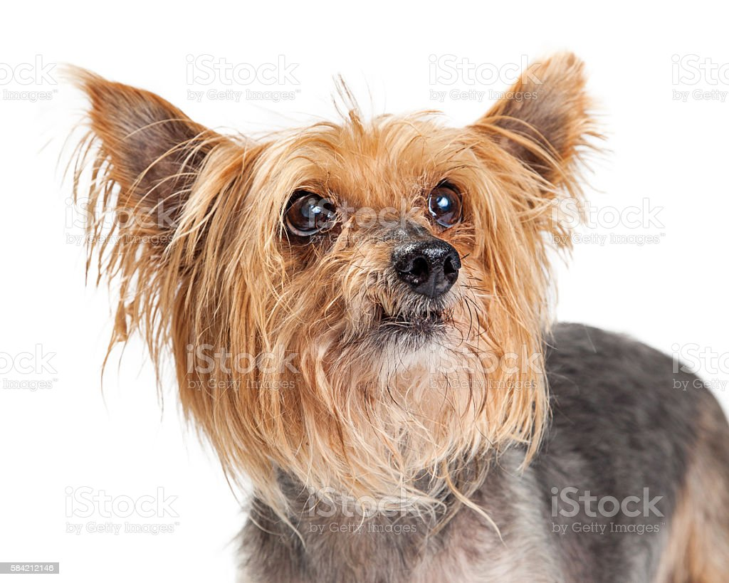 Portrait of Small Terrier Dog Looking Up stock photo