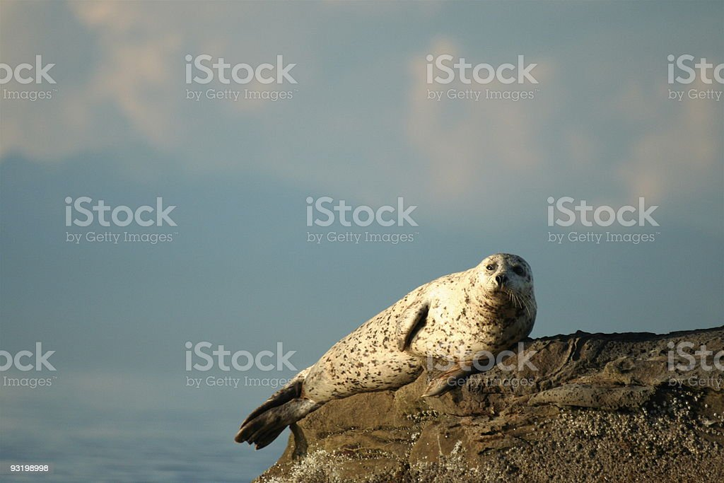 Portrait of solitary sea lion on rock royalty-free stock photo