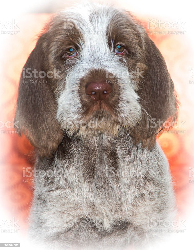 Portrait of Spinone Italiano 9 week old cute puppy dog_11 stock photo