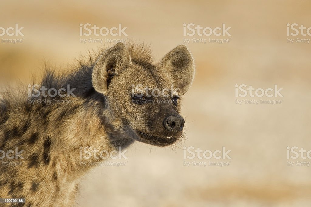 Portrait of Spotted Hyena royalty-free stock photo