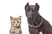 Portrait of Staffordshire terrier and kitten Scottish Straight