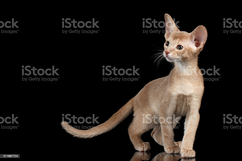 Portrait of Standing Abyssinian Kitten and Looking left isolated black stock photo