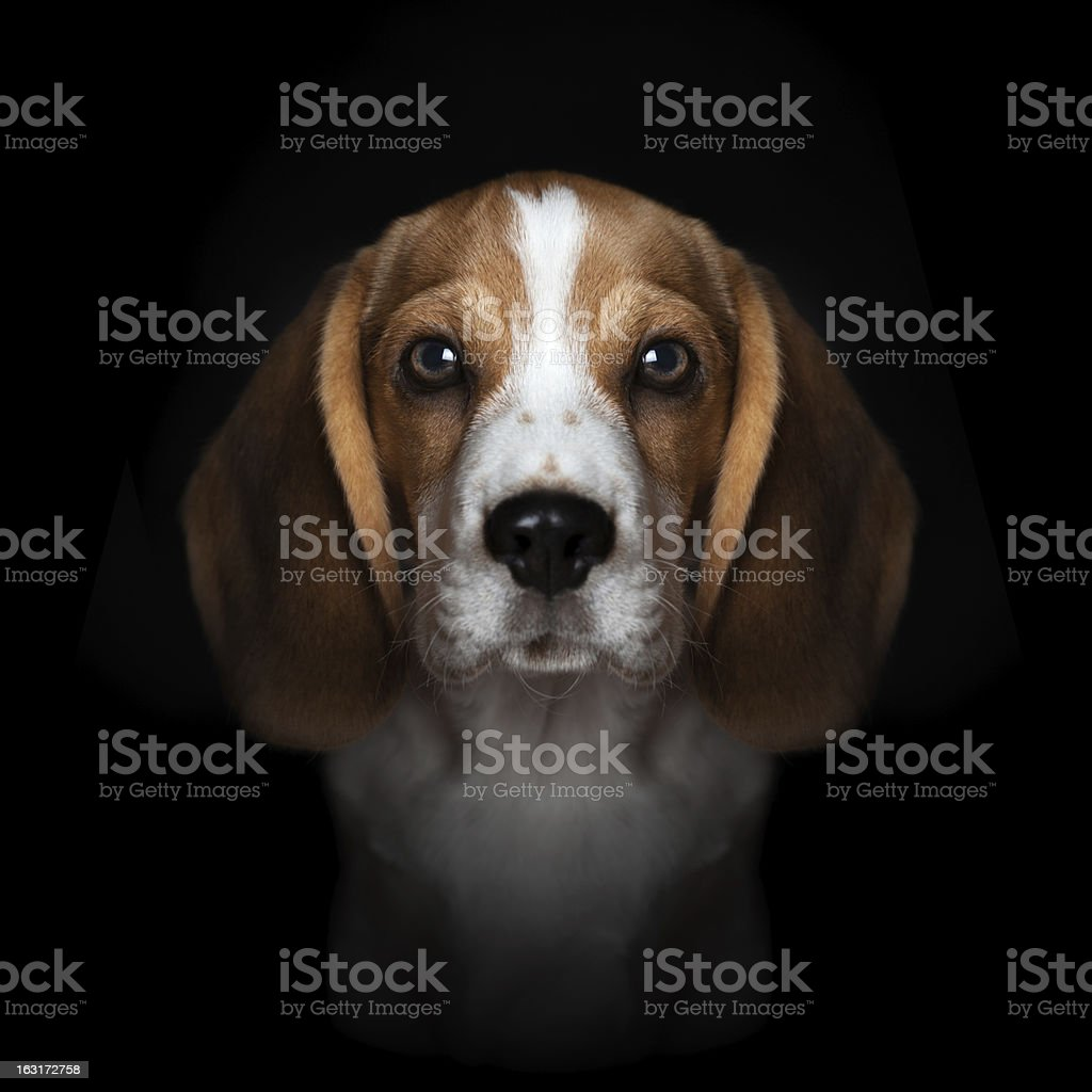 Portrait of sweet beagle puppy isolated on black background stock photo