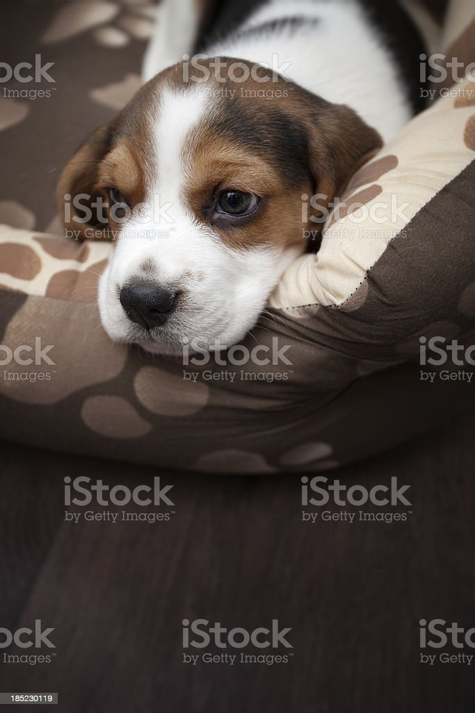 Portrait of sweet Beagle puppy laying on dog bed stock photo