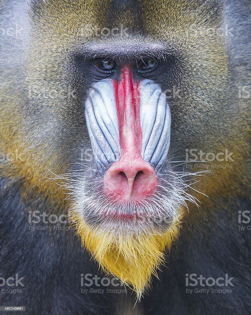 Portrait of the adult mandrill stock photo