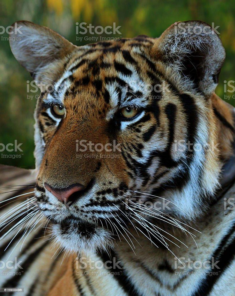 Portrait of the big tiger, Thailand stock photo